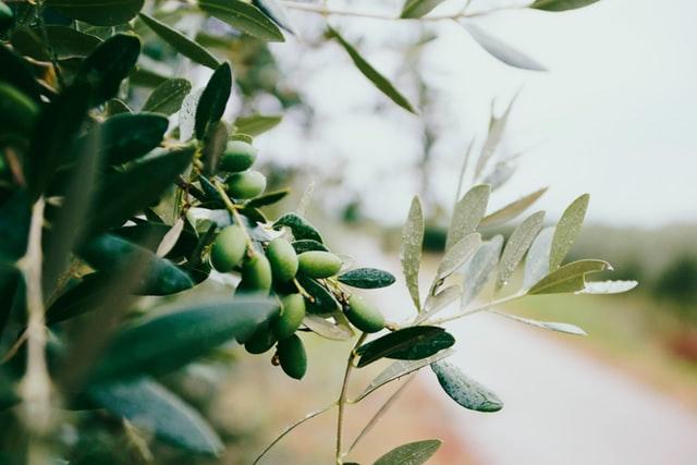 olivas a partir de las que se fabrica aceite maeva